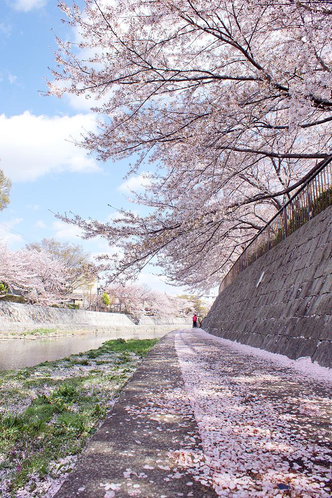 SAKURA_0414-2.JPG