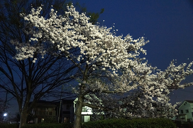 SAKURA_201304-25.jpg