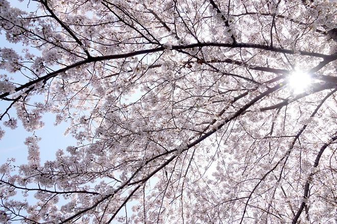 SAKURA_201304-26.jpg