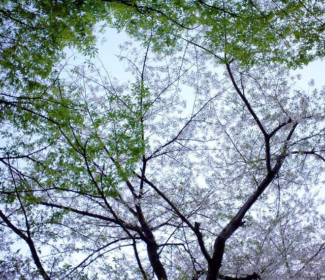 SAKURA_201304-35.JPG