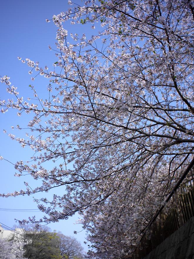 SAKURA_201304-31.JPG